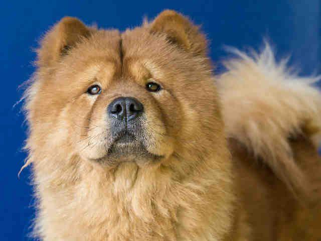 Adopt Mason On Chow Chow Dogs Dogs Australian Cattle Dog