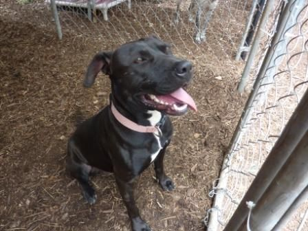 Adopt Cupcake on Labrador retriever mix, Adoption