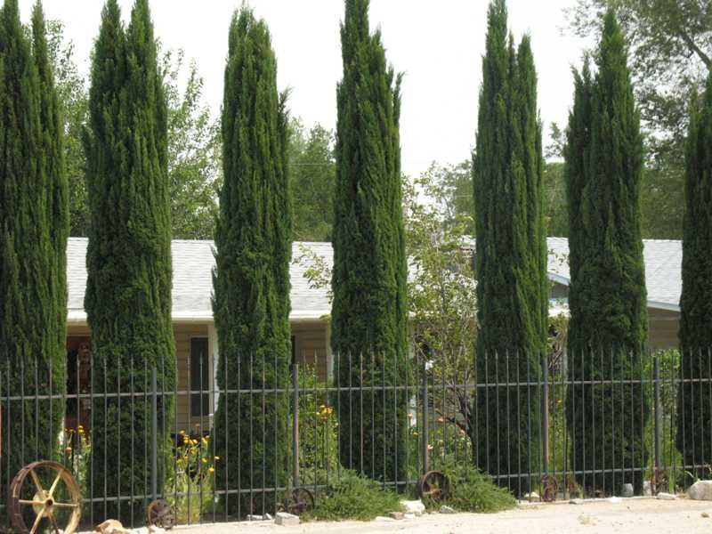 Columnar evergreen trees columnar evergreens trees plants pinterest trees evergreen and for Columnar evergreen trees for small gardens