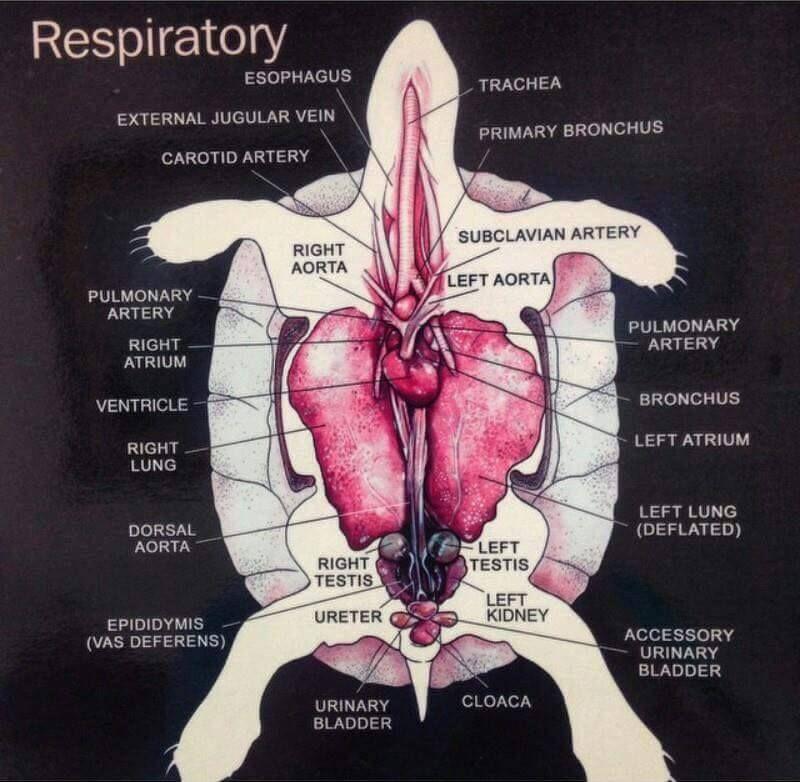 Turtle basic anatomy | I heart my box turtles | Pinterest