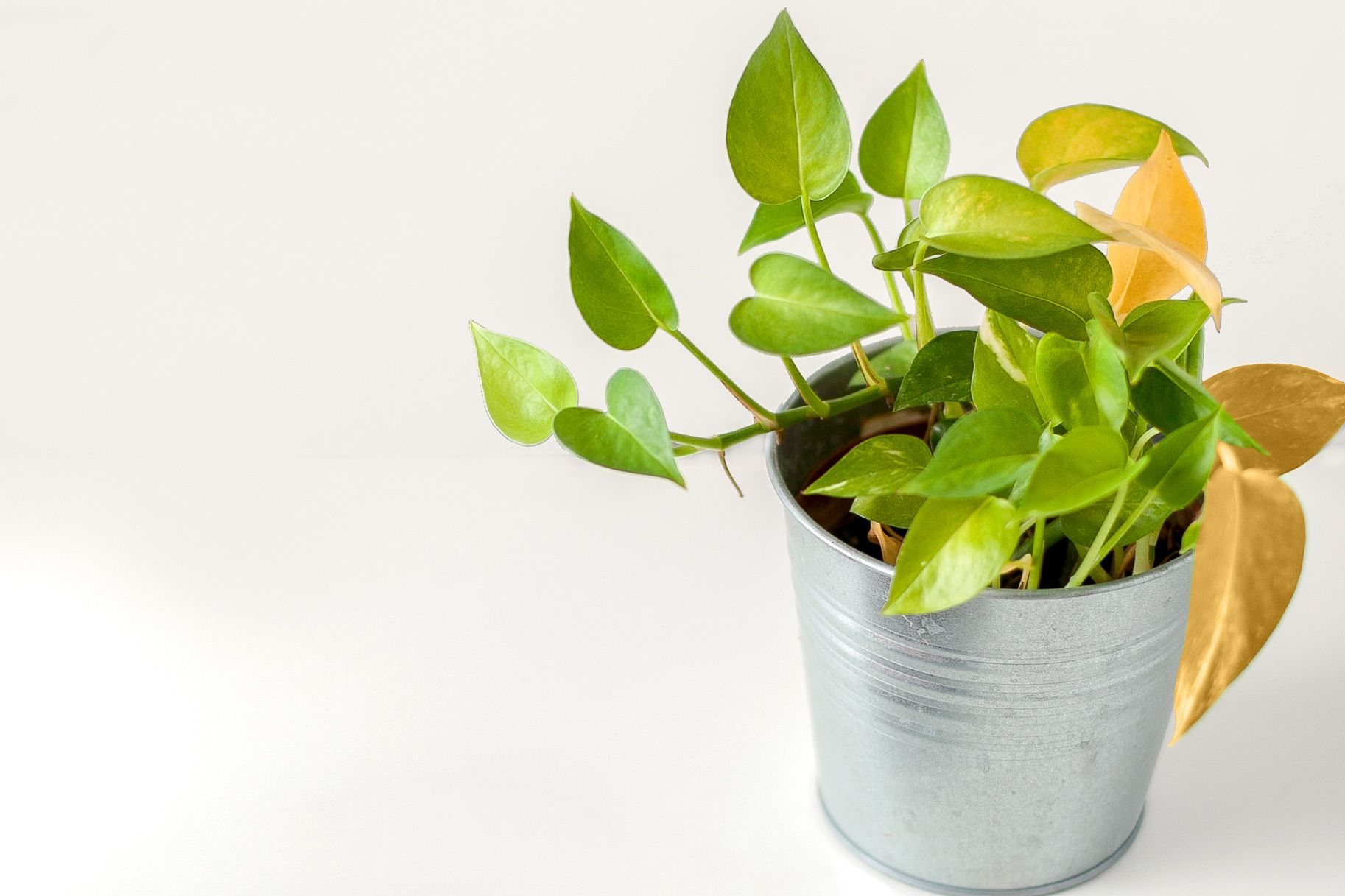 What You Need To Know When Your Houseplant Turns Yellow Plant Care Houseplant Yellow Leaves On Plants House Plant Care
