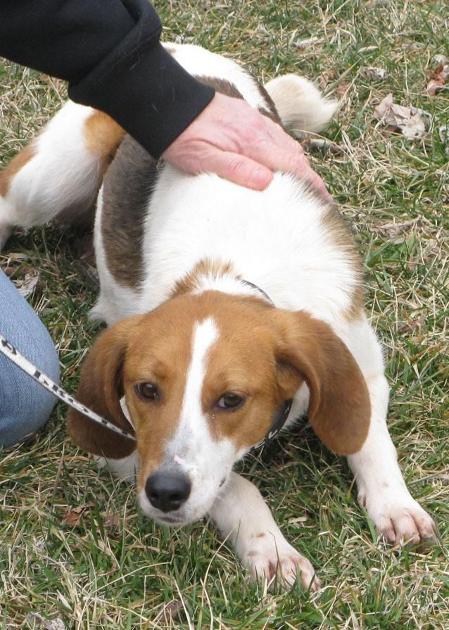 Adopt Jill D02 On Animal Shelter Adoption Dog Adoption Foxhound Dog