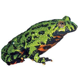 Fire Belly Toad Live Reptiles Petsmart Reptiles Pet Pets Reptiles