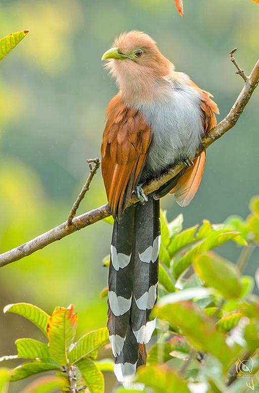 Squirrel Cuckoo Piaya Cayana From Northwestern Mexico To Northern Argentina Uruguay And Trinidad Pajaros Hermosos Aves Hermosas Criaturas Hermosas
