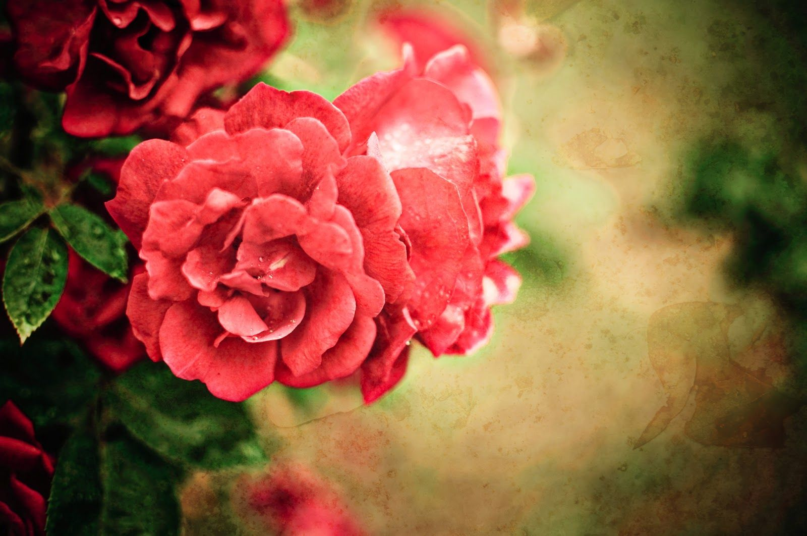 Pin by Sheetal Wavhal on flowers Rose background