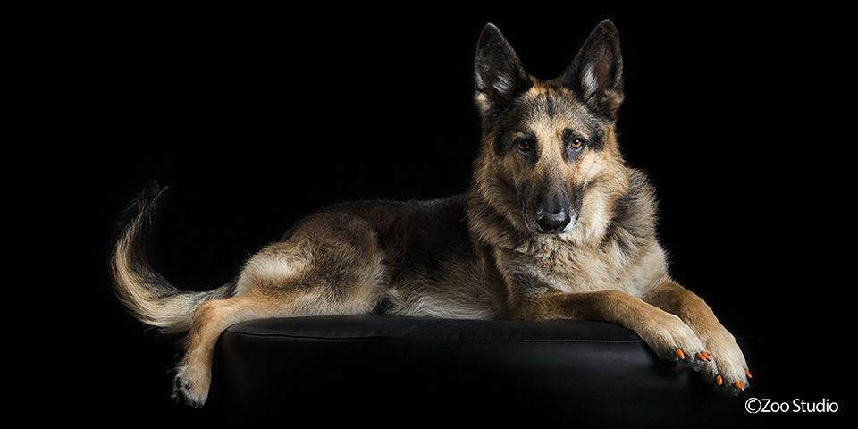 Mia The German Shepherd Zoo Studio Pet Photography Brisbane
