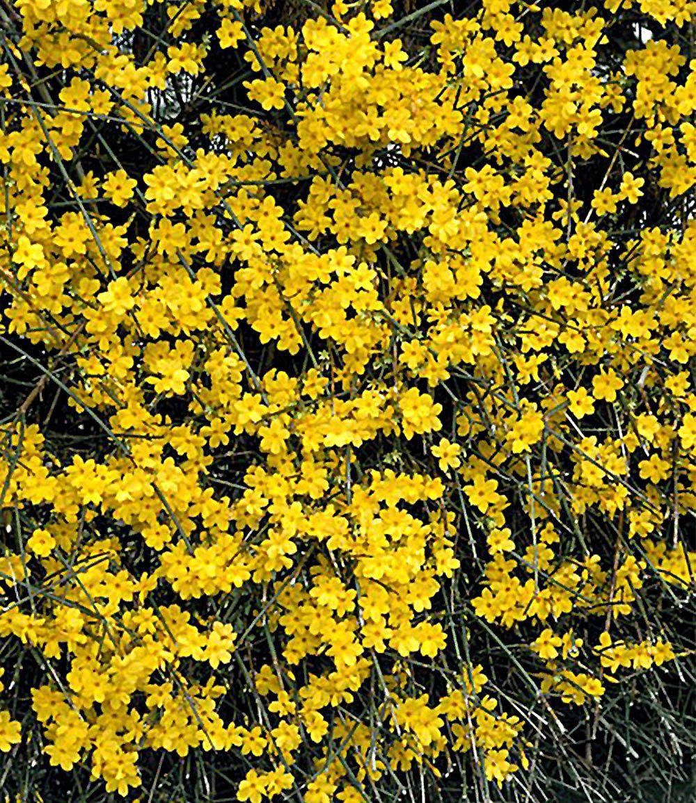 Winter Jasmin1 Pflanze Garten Garden Outdoor Plants Und Plants