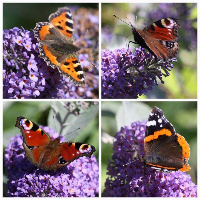 ButterfliesandBuddlejaCo Farfalle