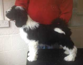 Araki Tibetan Terriers Britains Top Winning Kennel Ever In The History Of The Breed Tibetan Terrier Dogs Terrier