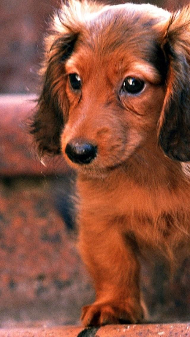 Dachshund Wallpaper For Iphone Bing Images Dachshund Wallpaper