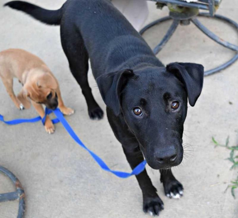 Meet Moyo A Petfinder Adoptable Labrador Retriever Dog Durham