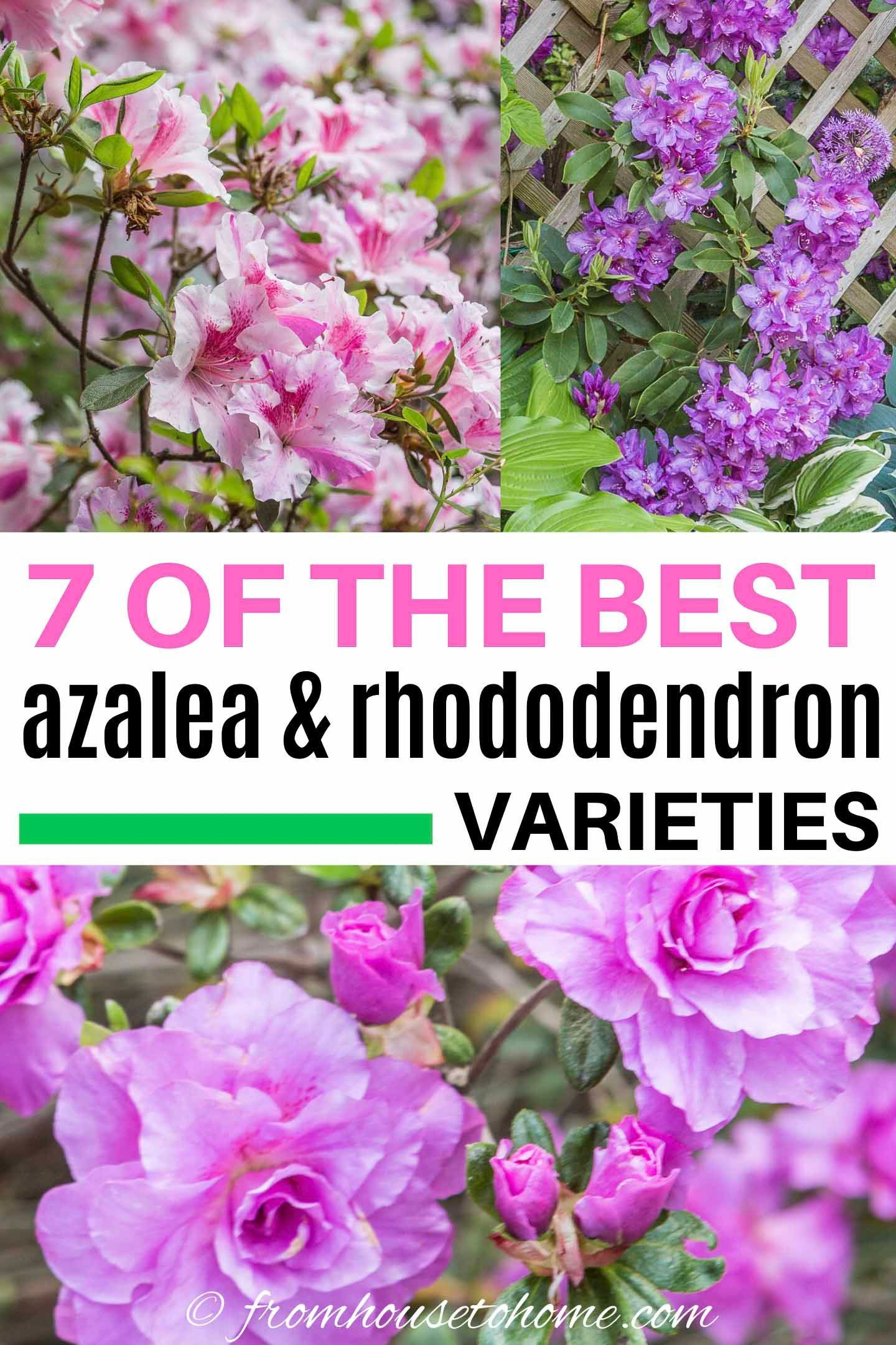 Rhododendron Varieties 7 Of The Best Azaleas And Rhododendrons For Your Garden Gardening From House To Home In 2020 Shade Loving Shrubs Evergreens For Shade Azaleas Landscaping