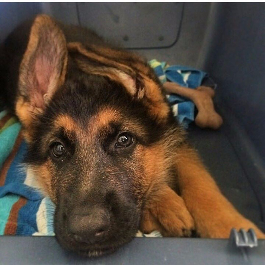 Colors Of The German Shepherd Dog Black And Red When A German Shepherd S Coat Is A De German Shepherd Puppy Funny Black German Shepherd Puppies Gsd Puppies