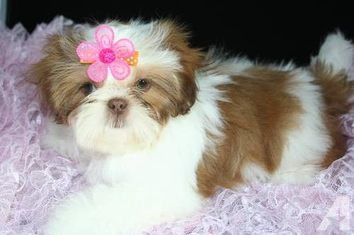 Shih Tzu Pictures To Color