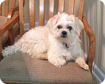 Shih Tzu Mix Dog For Adoption In Aiken South Carolina Jackson Shih Tzu Dogs Dog Adoption