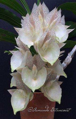 Catasetum xtapiriceps 'Papita'
