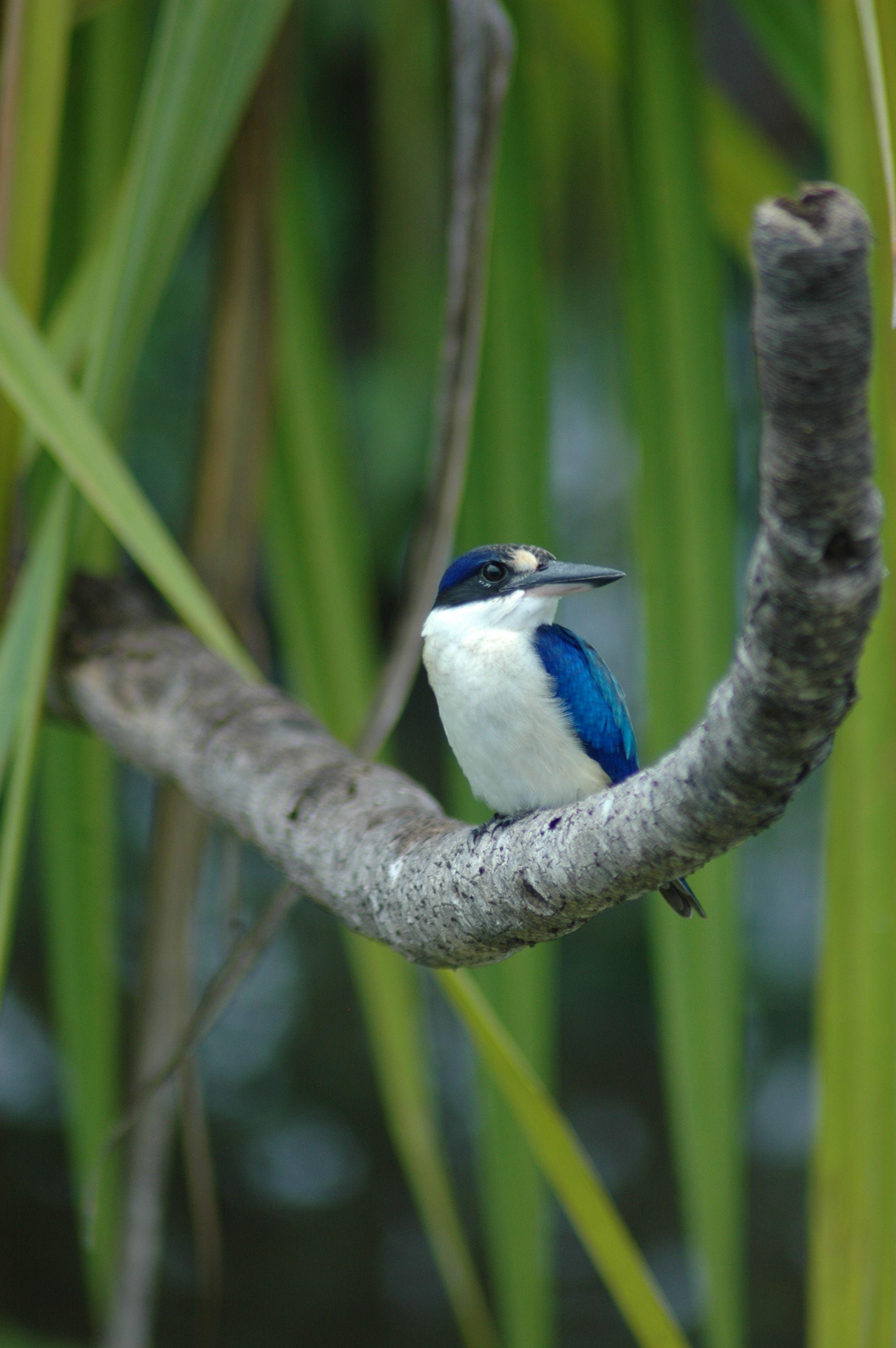 kingfisher at kakadu national park northern territory australia
