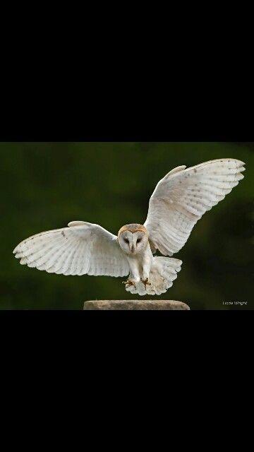 Barn Owl Landing With Images Zvirata Sova