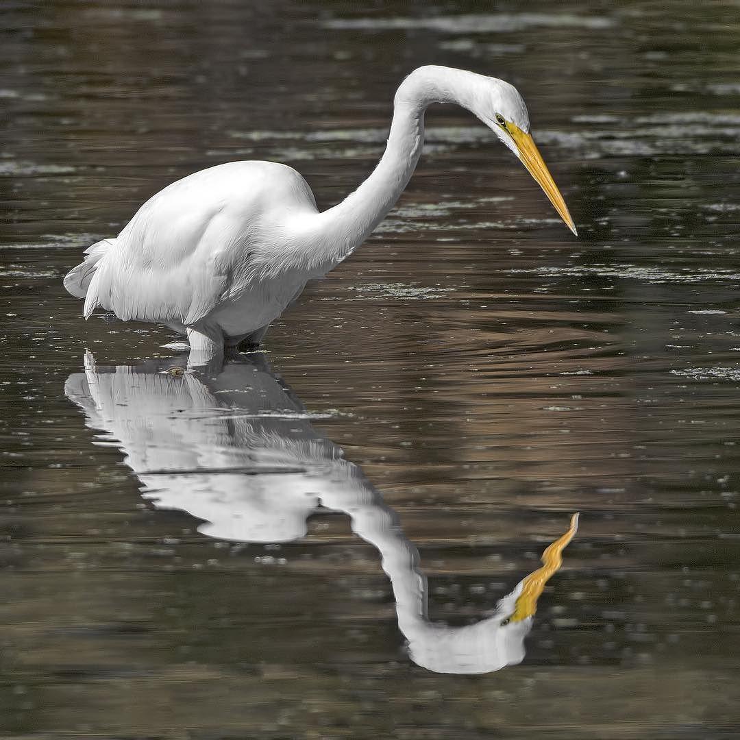 Egret reflection. #Egret #Reflection #Wildlife
