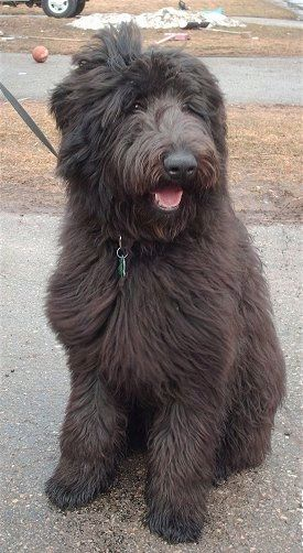 A Thick Long Haired Black Shepadoodle Dog Sitting In A Driveway