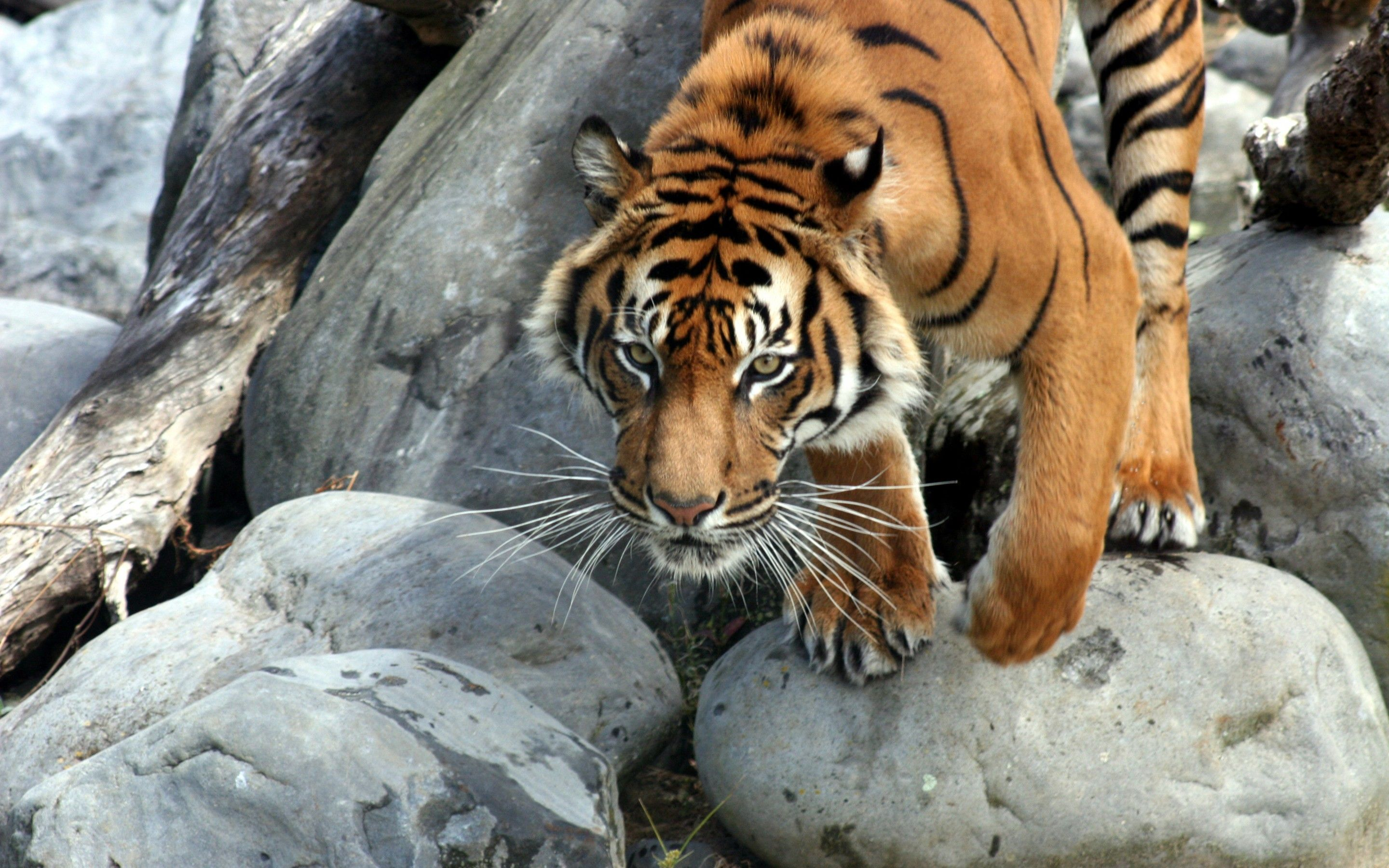 tiger-jump-3-wide (2880×1800) | power and majesty | pinterest
