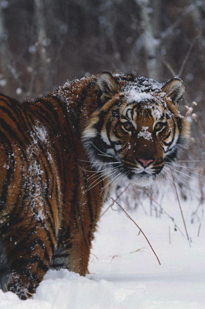 A Siberian Tiger in Winter. Animals wild, Animals