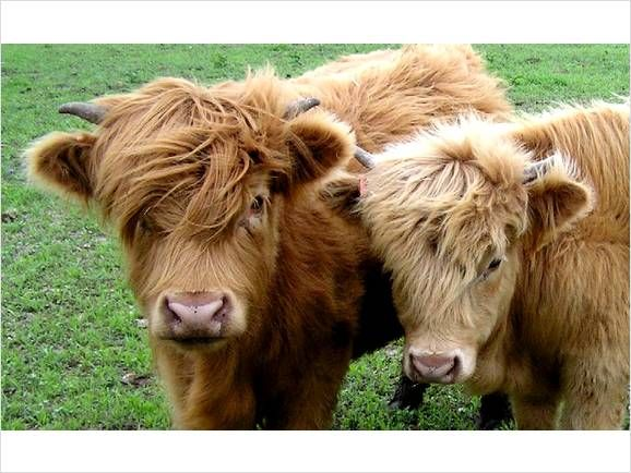 Peace Love And Vegan Mini Cows Fluffy Cows Pet Cows