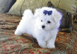 Adorable Male And Female Teacup Maltese Puppies A Loving And Caring Home Virginia Beach Va Asnclassif In 2020 Teacup Puppies Maltese Teacup Maltese Maltese Puppy