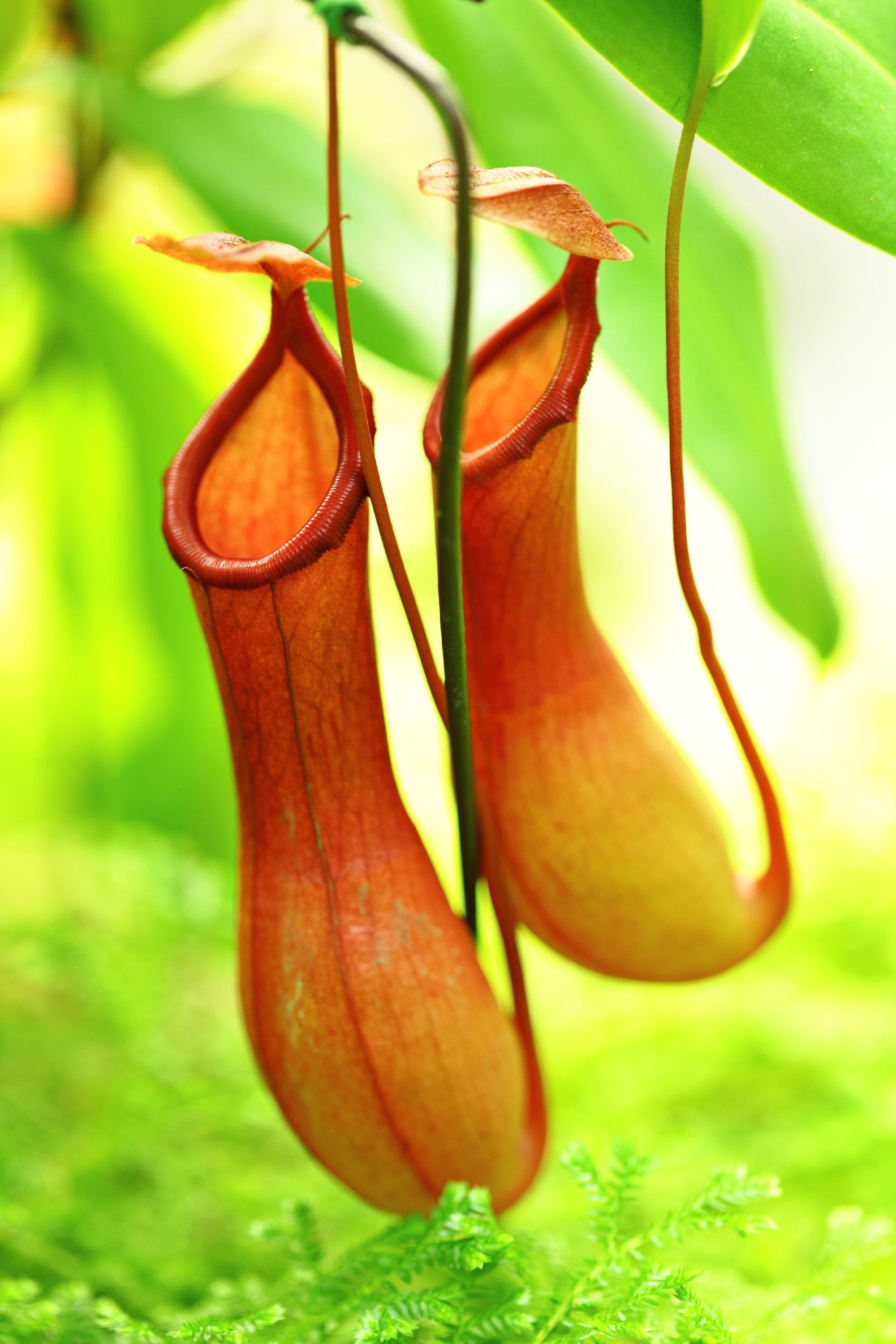Carnivorous plants in India   Pitcher plant and Plants