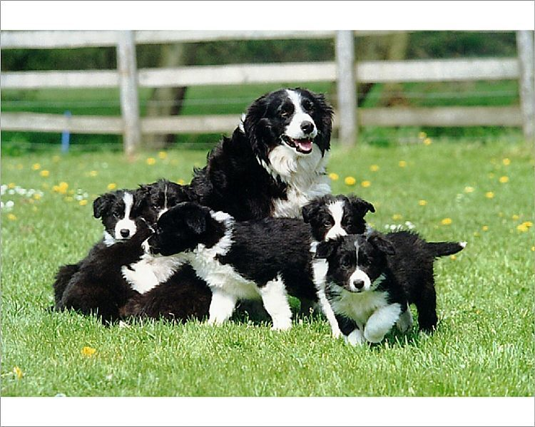Photograph A Group Of Black And White Border Collie Puppies