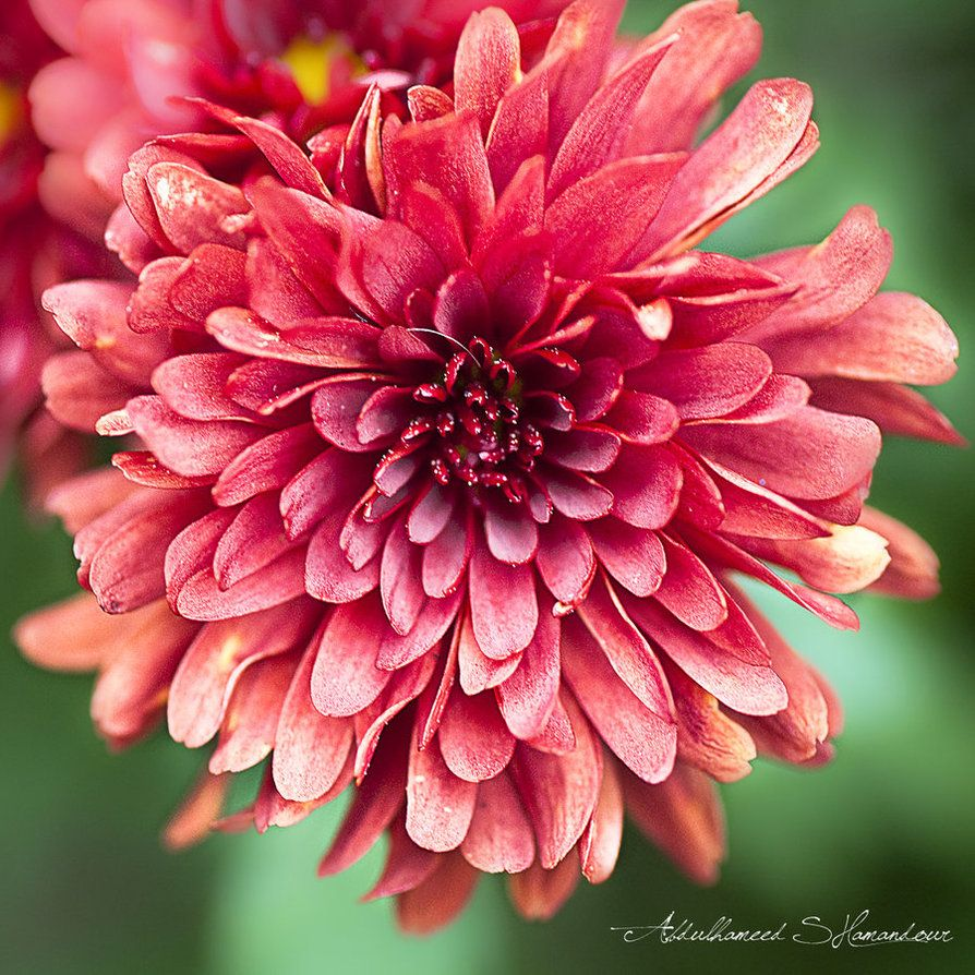 red Chrysanthemums as a choice of flowers? Red