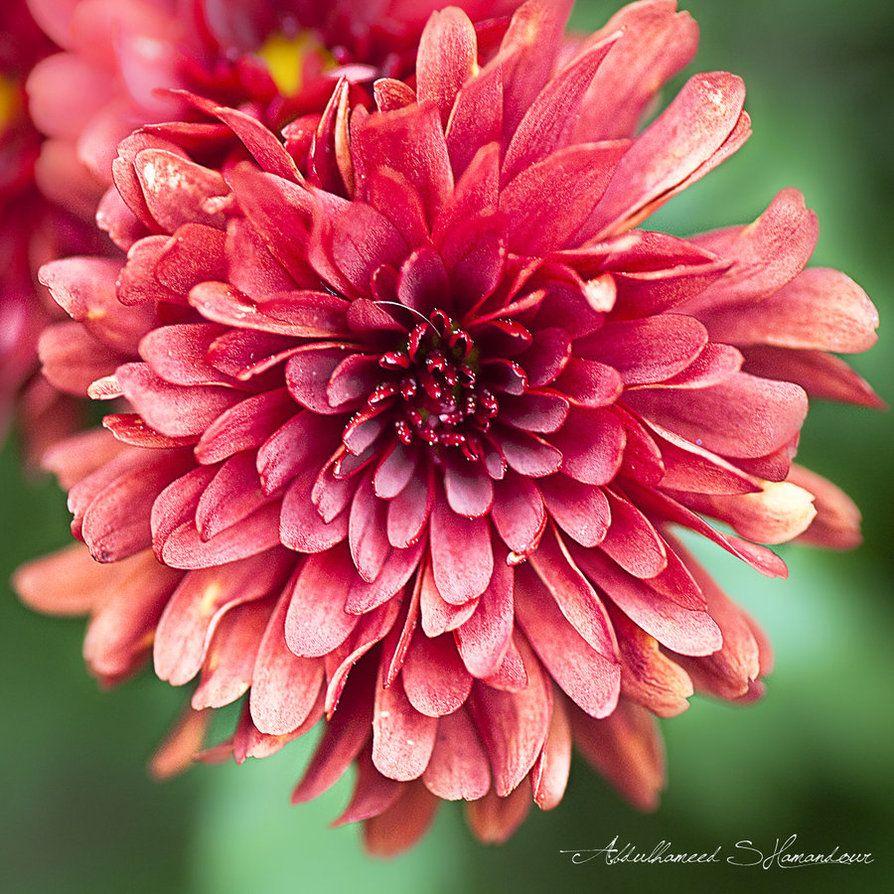 Red Chrysanthemum By Ashamandour On Deviantart Red Chrysanthemums Chrysanthemum Flowers