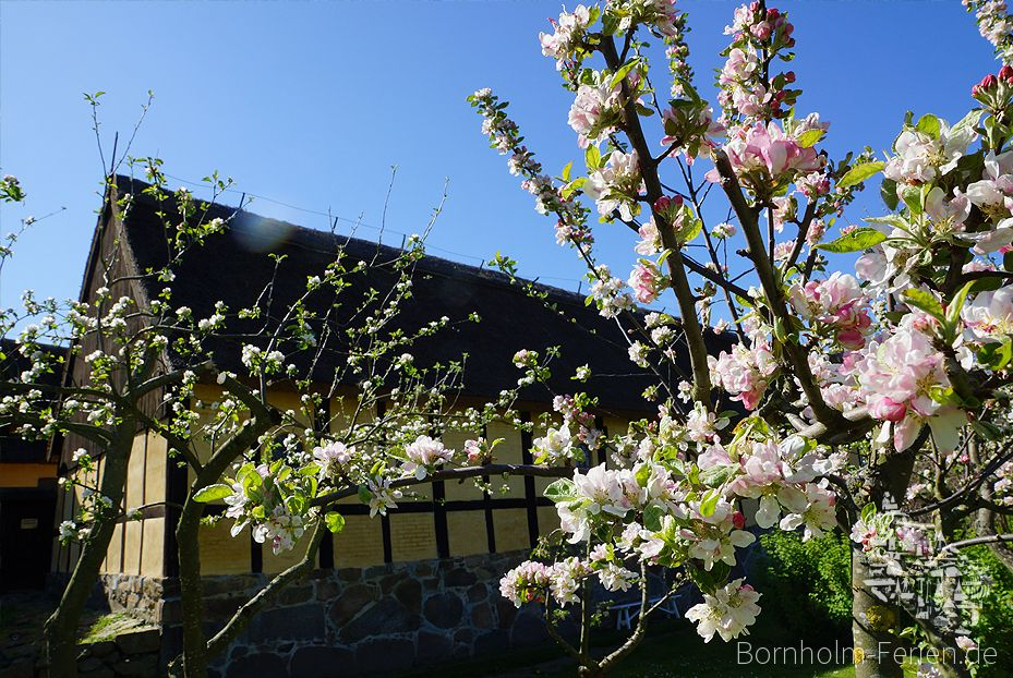 Obstblüte in Melsted #Blueten #Obstbaum #Melsted #Bornholm