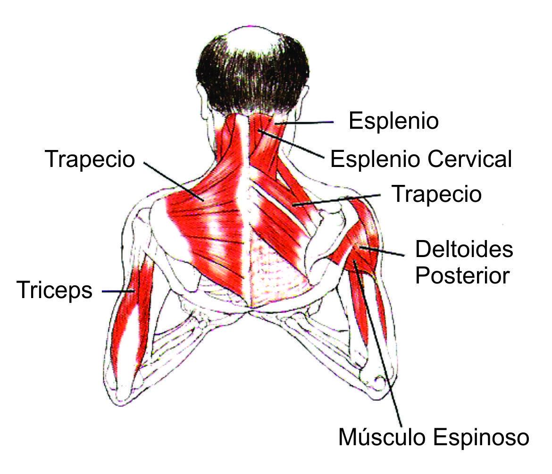 Contemporáneo Músculos Del Cuello Y Del Hombro Friso - Anatomía de ...