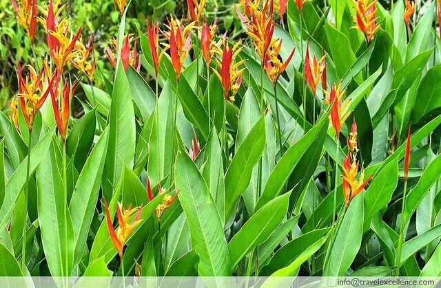 Heliconia False Bird Of Paradise Birds Of Paradise Plant Paradise Plant Outdoor Gardens