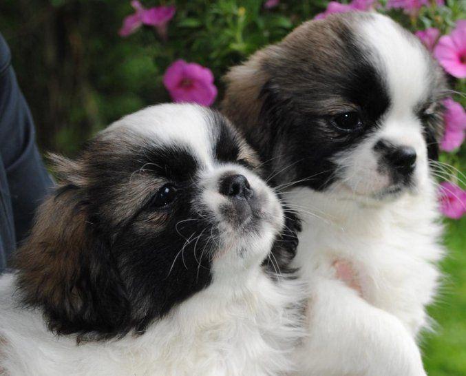 Tibetan spaniel puppies! Tibetan spaniel