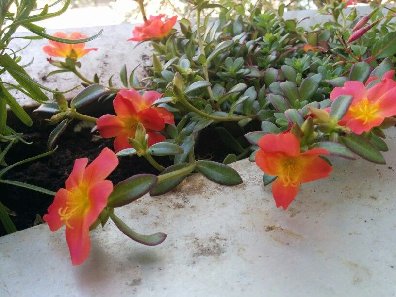 Plante Grasse Mediterraneenne Dont J Ai Oublie Le Nom Plants