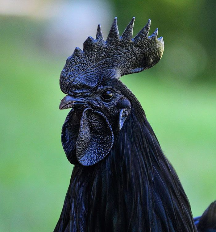 This rare goth chicken is 100 black from its feathers to its this rare goth chicken is 100 black from its feathers to its internal organs and bones ccuart Images