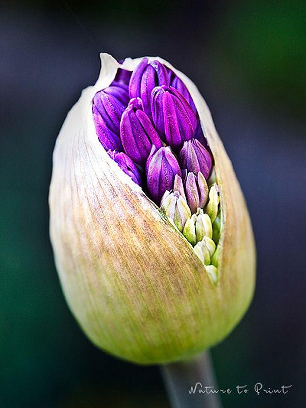 Kunstdrucke und Leinwandbilder mit lila Allium-Knospe | Bahçemde ...
