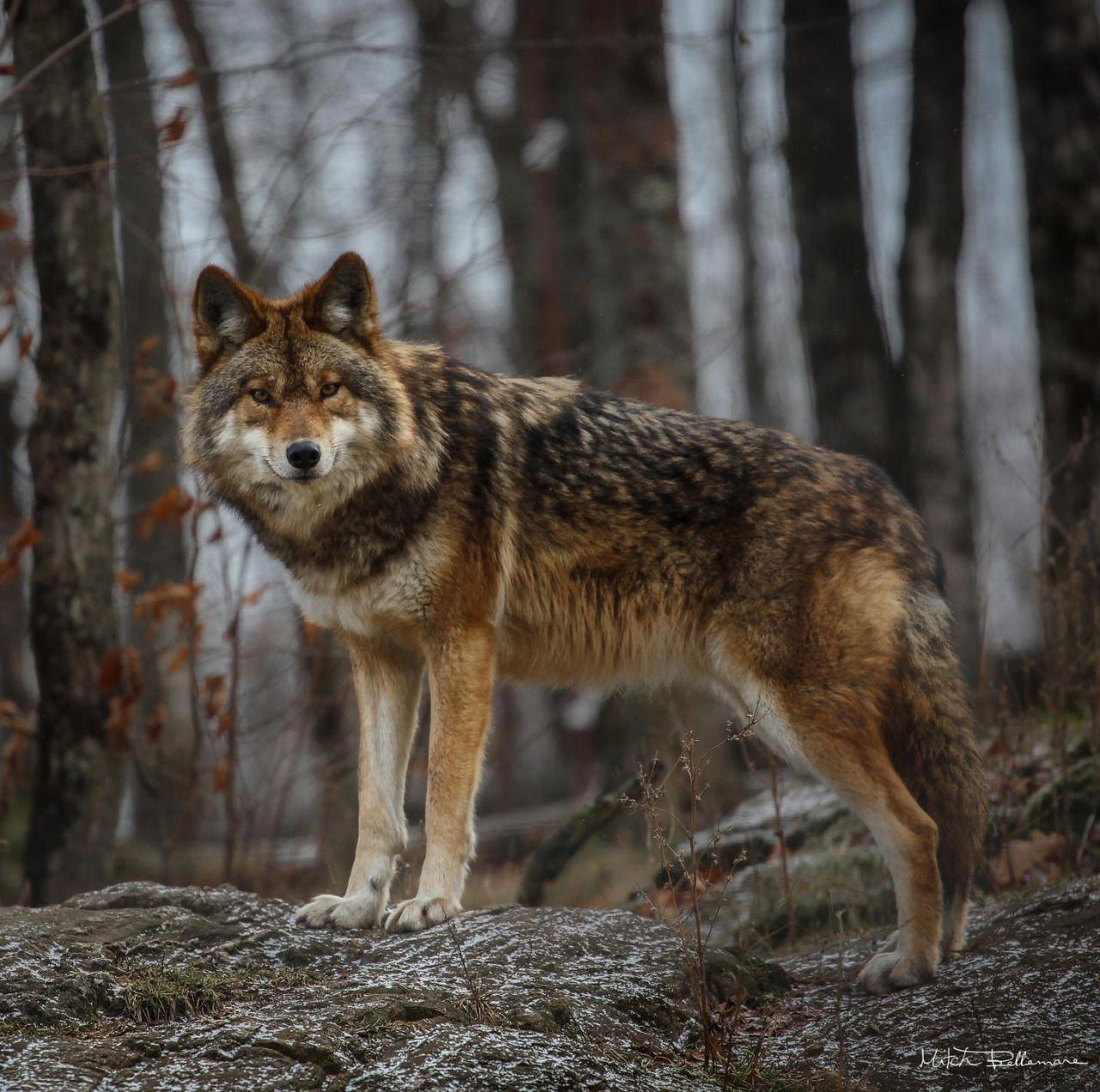 Tier Wolf Bild Von Helga Auf Wolfe Wilde Tiere Tiere