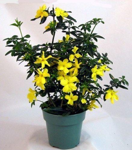 Carolina-Jasmine-4-034-Pot-Fragrant-Flowers-Plant-Garden-Home-Best-Gift-New