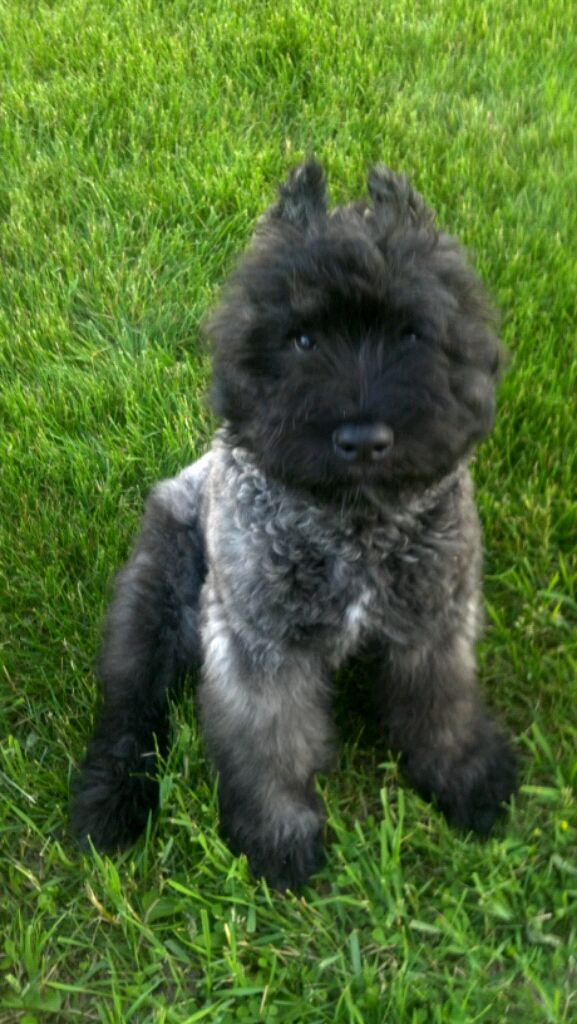 Bouvier Des Flanders Puppies For