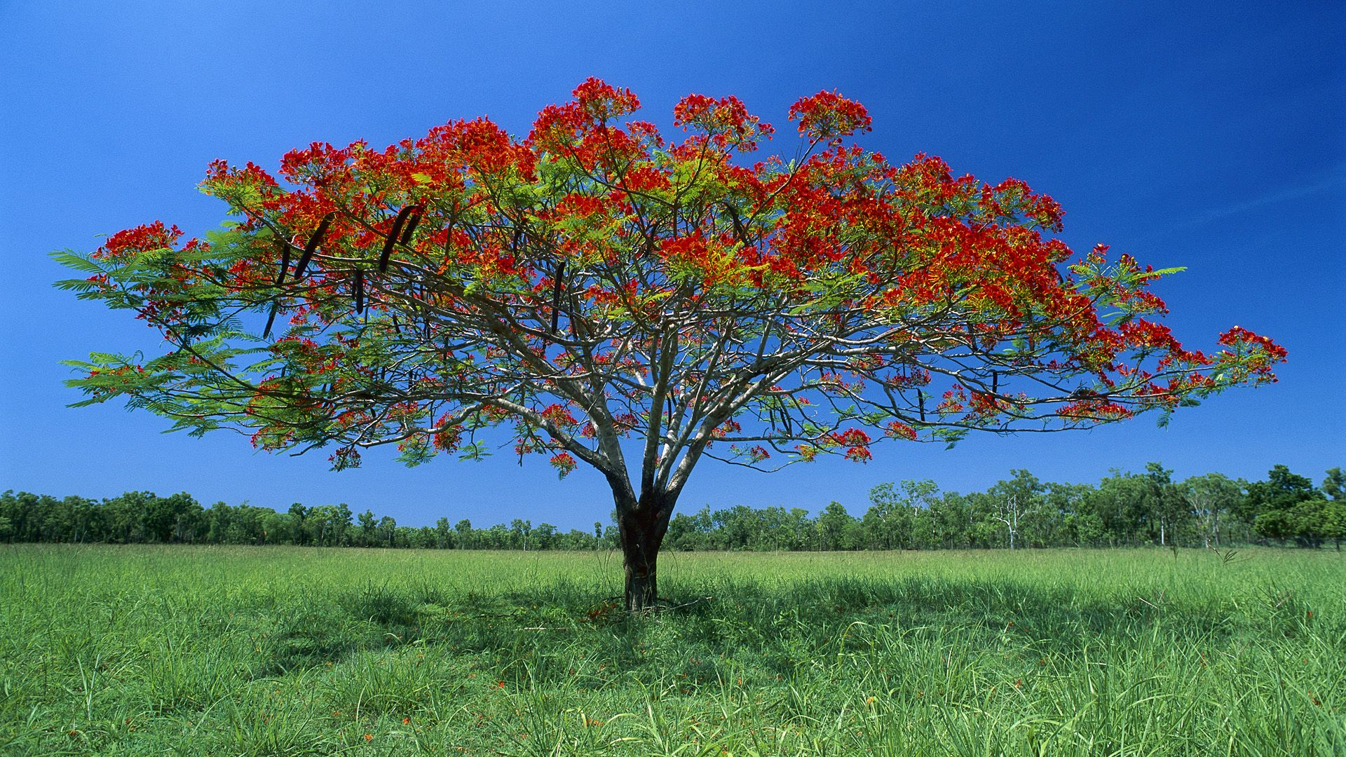 Flowering acacia tree litchfield national park australia