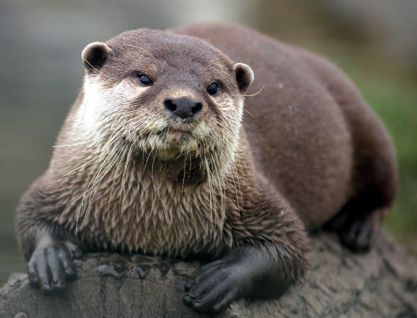 Asian Sea Otter/Common Sea Otter (Enhydra lutris lutris ...   Animal puns, Animal captions, Otters