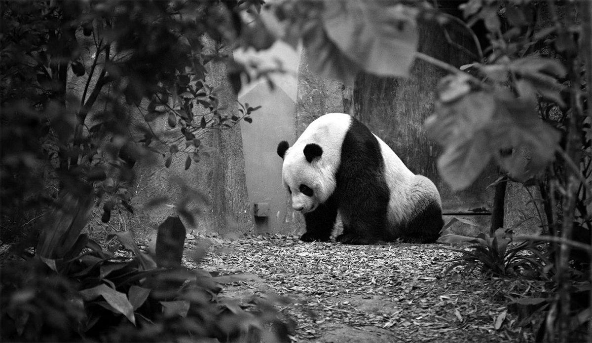 Oso Panda en blanco y negro