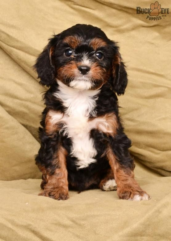 Rocky Cavapoo Puppy for Sale in Fredericksburg, OH