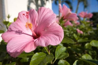 When Should You Plant Luna Hibiscus Hibiscus Plant Hibiscus Tree Hardy Hibiscus