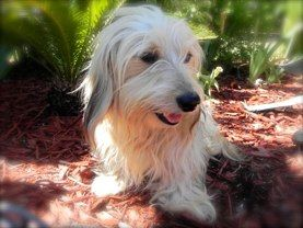 Bijou Shaded Cream Silky Wirehaired Dachshund Wirehaired