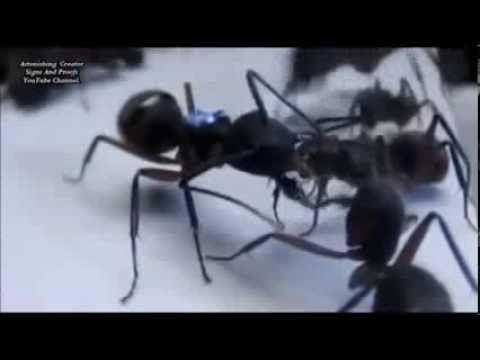 Miracles d'Allah:les fourmis temoignent de la veracite de l' islam et