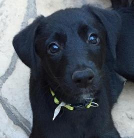 Adopt Aly Gold On Dog Adoption Black Dog Black Labrador Retriever